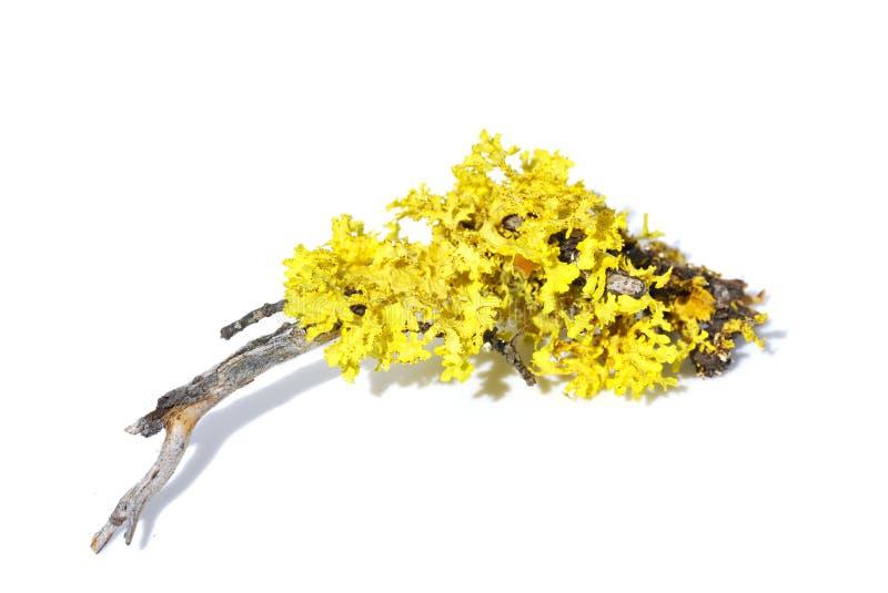 Yellow lichen. The yellow lichen Vulpicida juniperinus isolated on white background stock photo