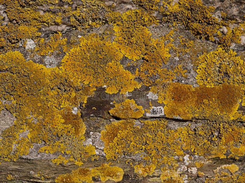 Yellow Lichen, Xanthoria parietina stock photo