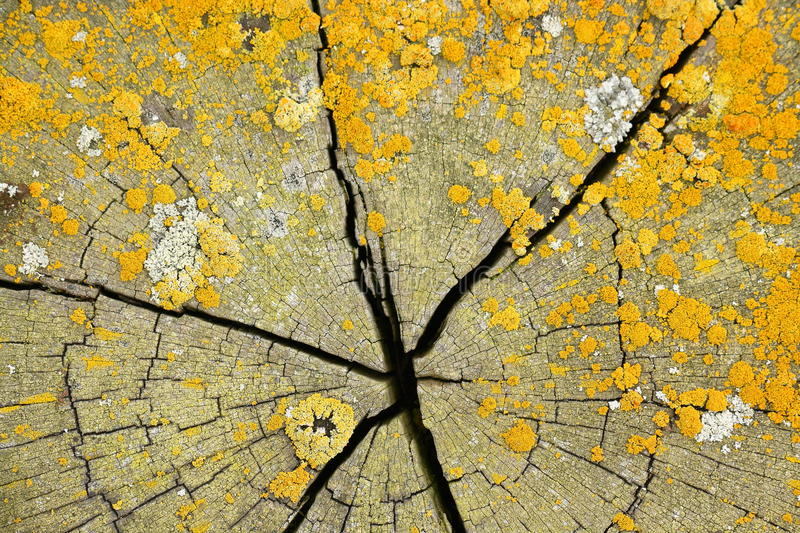 Yellow lichens on cracked wood cut royalty free stock image