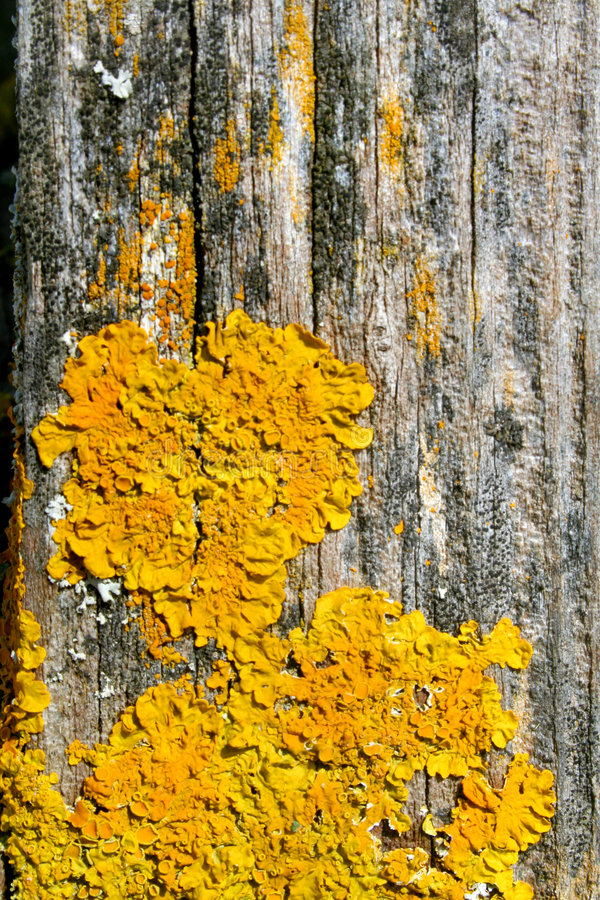 Yellow lichens on wood royalty free stock photos