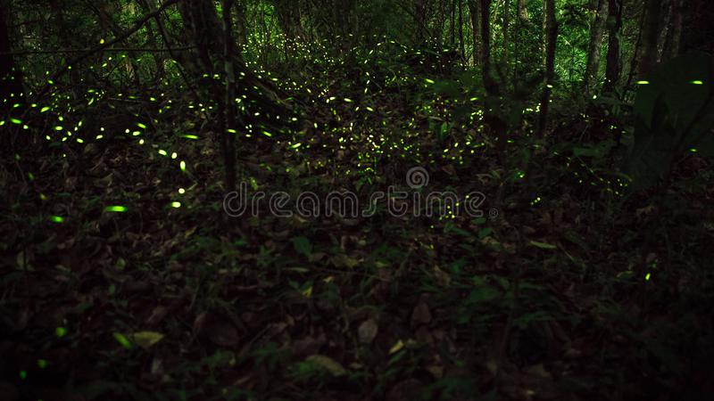 Yellow light of firefly insect flying in the night forest, background of Taiwan stock image