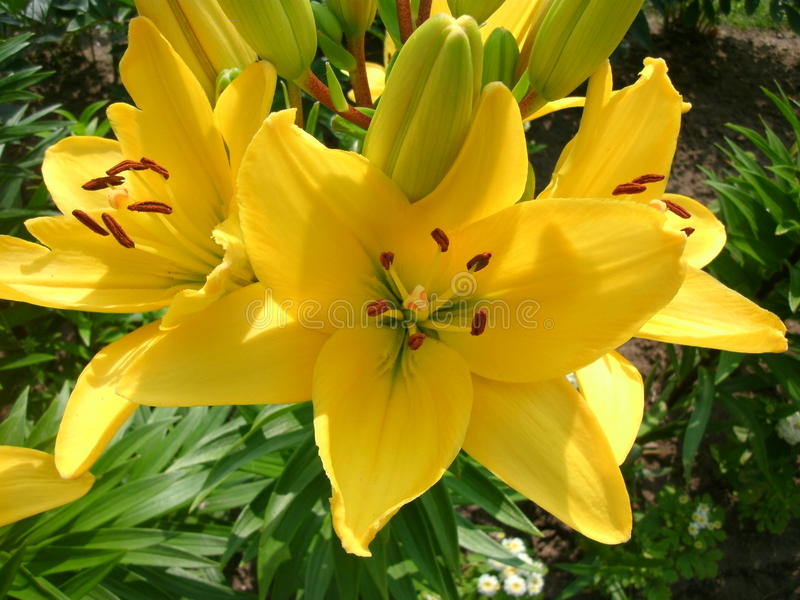 Download Yellow lilies stock image. Image of bright, gardening - 76907763