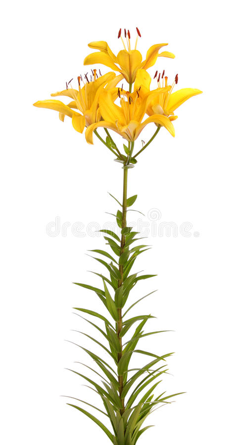 Download Yellow lilies, isolated. stock photo. Image of white - 14990736