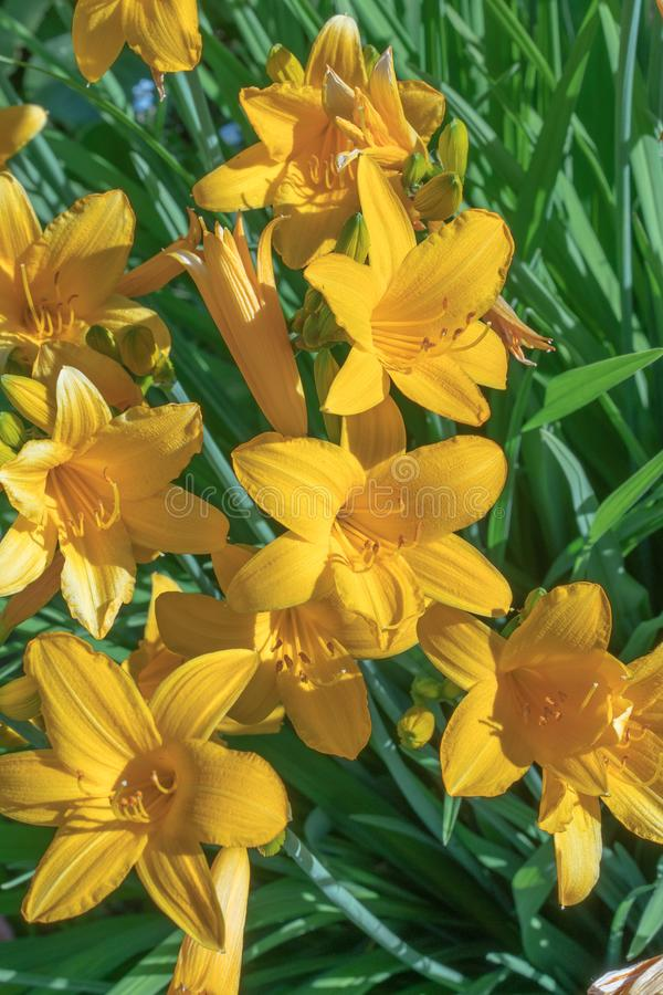 Yellow lilies on a sunny day.  stock image