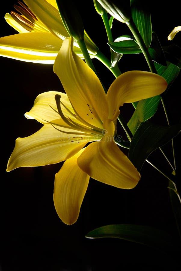 Yellow Liliums royalty free stock photo