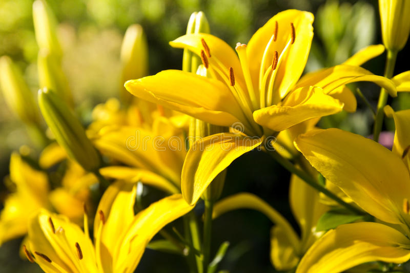 Download Yellow lilly stock image. Image of branch, flora, beauty - 32209675