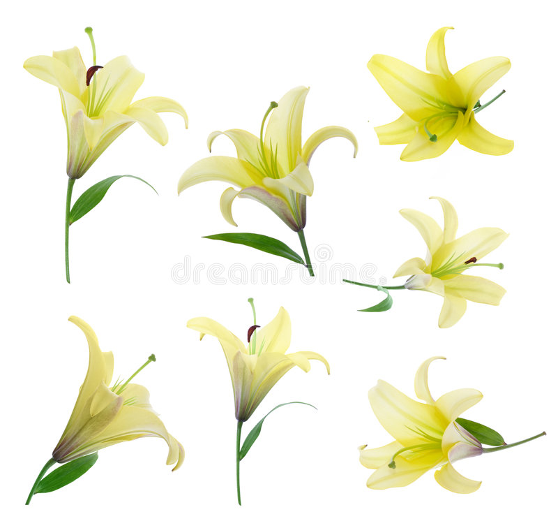 Download Yellow lily stock photo. Image of clipping, background - 2571432