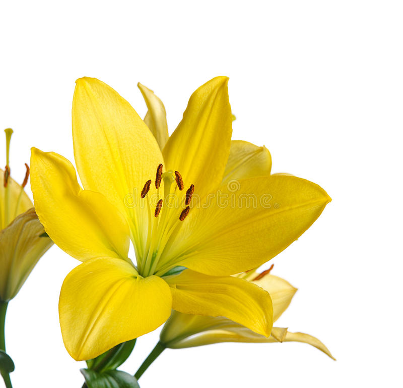 Download Yellow lily stock image. Image of celebration, elegant - 28532823