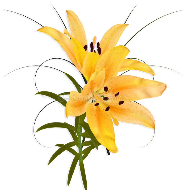 Free Yellow Lily. Royalty Free Stock Photos - 4118848