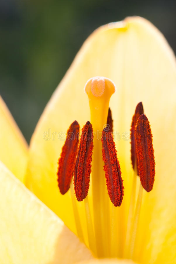 Download Yellow lily stock photo. Image of pollen, blooming, blossom - 9528308