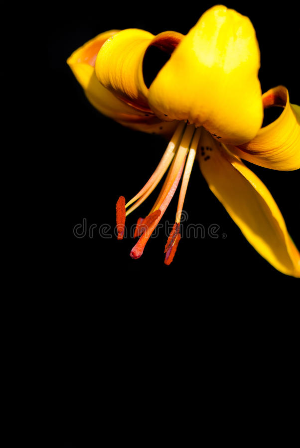 Yellow lily on a black background stock images