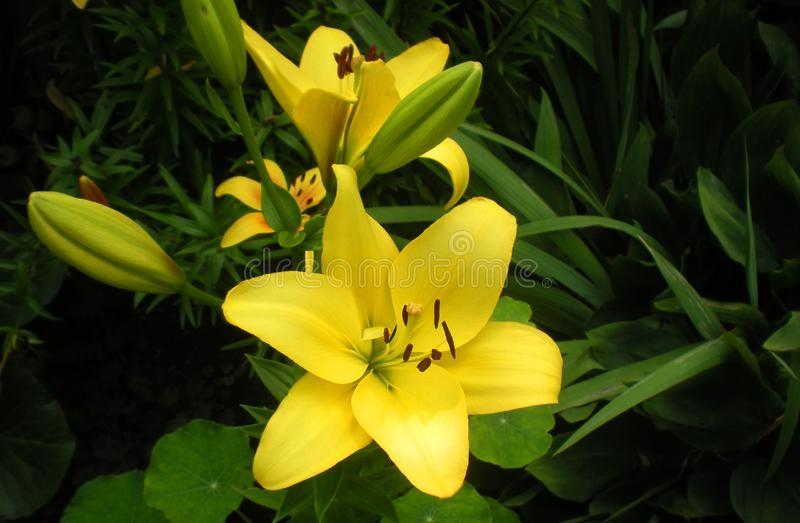 Yellow lily flower close-up outdoors, in natural conditions, the concept of horticulture gardening for website design, printing. Bulbous flowers stock image