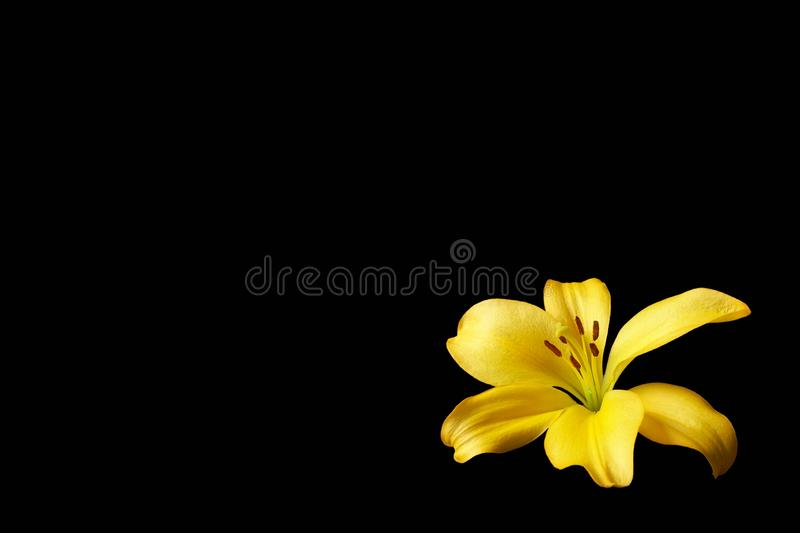 Yellow lily flower on isolated black background royalty free stock image