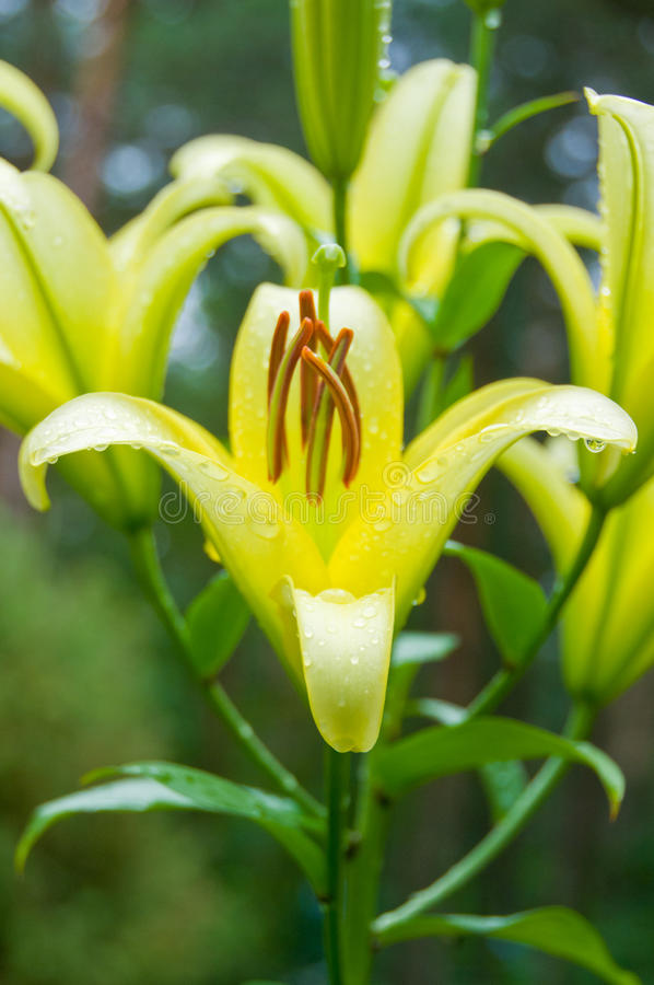 Free Yellow Lily Flower On Natura Background In Dew Royalty Free Stock Images - 17632609