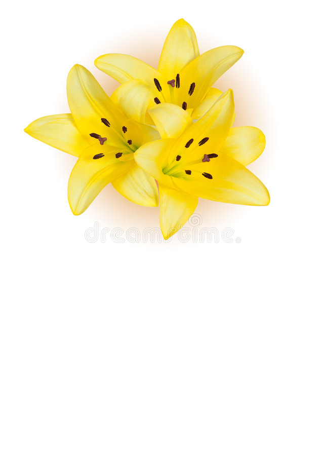 Yellow lily flowers. With plenty of copy space and white backround stock photo
