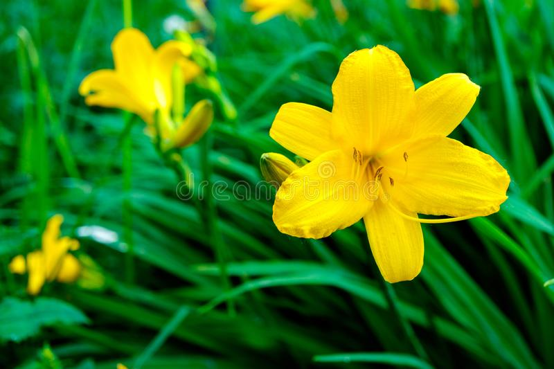 Yellow Lily on green grass background, beautiful flower in summer stock images