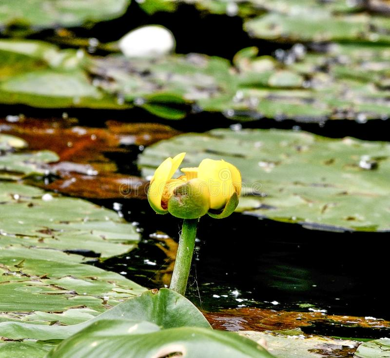 A Yellow Lily Nearing Bloom. This is a Summer picture of a Yellow Lily in the early stage of bloom on the Alfred Caldwell Lily Pond in Lincoln spark located in stock images