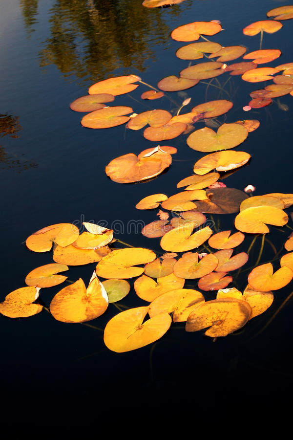 Yellow Lily pads on the surface of a pond. Park stock photos