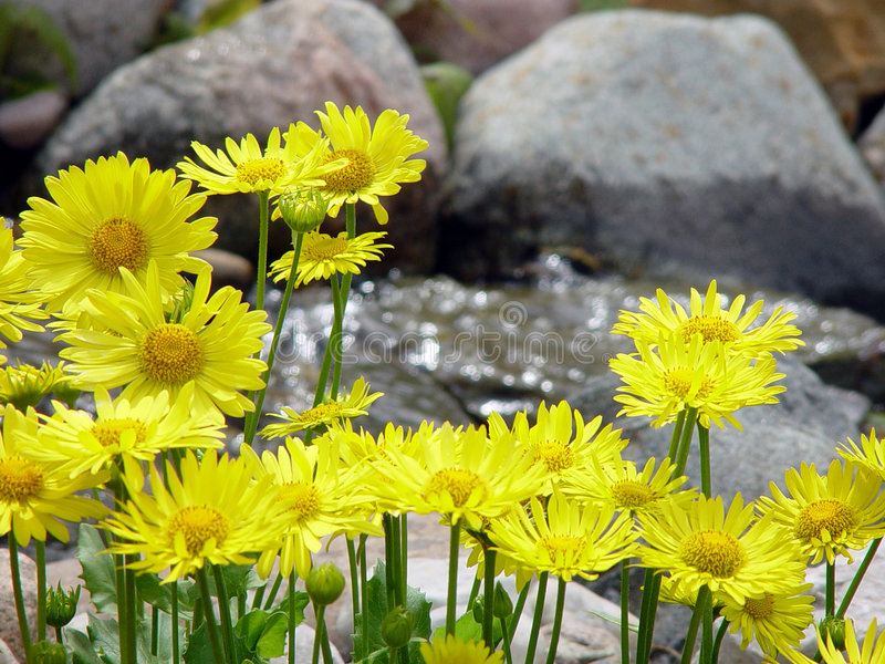 Yellow Lions Bane by Stream stock photos