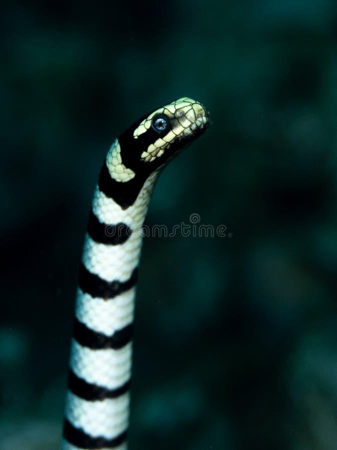 Yellow-lipped sea krait, Laticauda colubrina. Scuba diving in North Sulawesi, Indonesia. Close-up of a highly venomous banded sea snake, Laticauda colubrina royalty free stock photo
