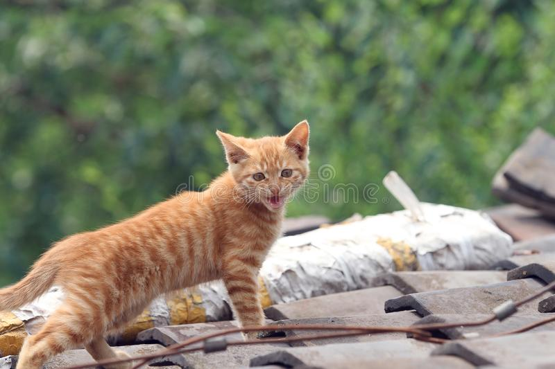 Yellow little cat. Iis playing on proof in sunny day on green background royalty free stock images
