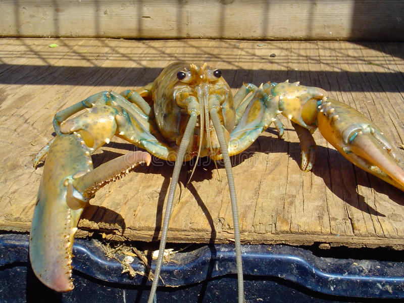 Yellow lobster with claw open royalty free stock images
