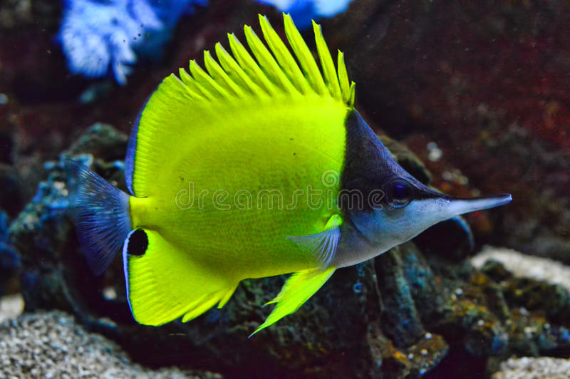 Yellow Longnose Butterfly Fish Full Body. A Yellow Longnose Butterfly Fish swims into full view giving lovely detail of its distinct shape and color stock photos