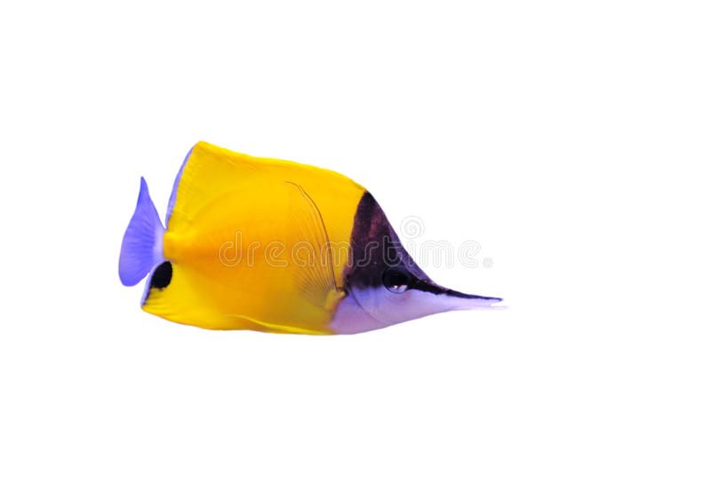 Yellow Longnose Butterflyfish royalty free stock photo