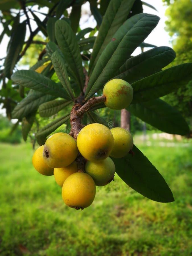 yellow loquat stock photography