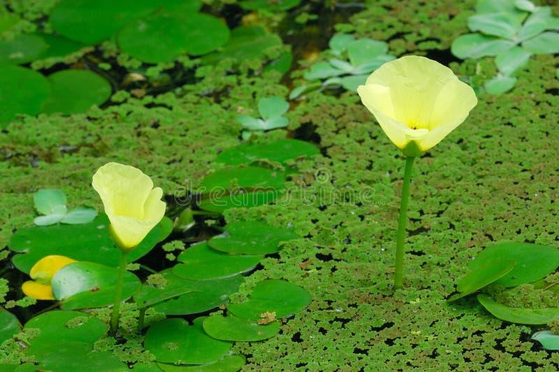 Yellow lotus stock image