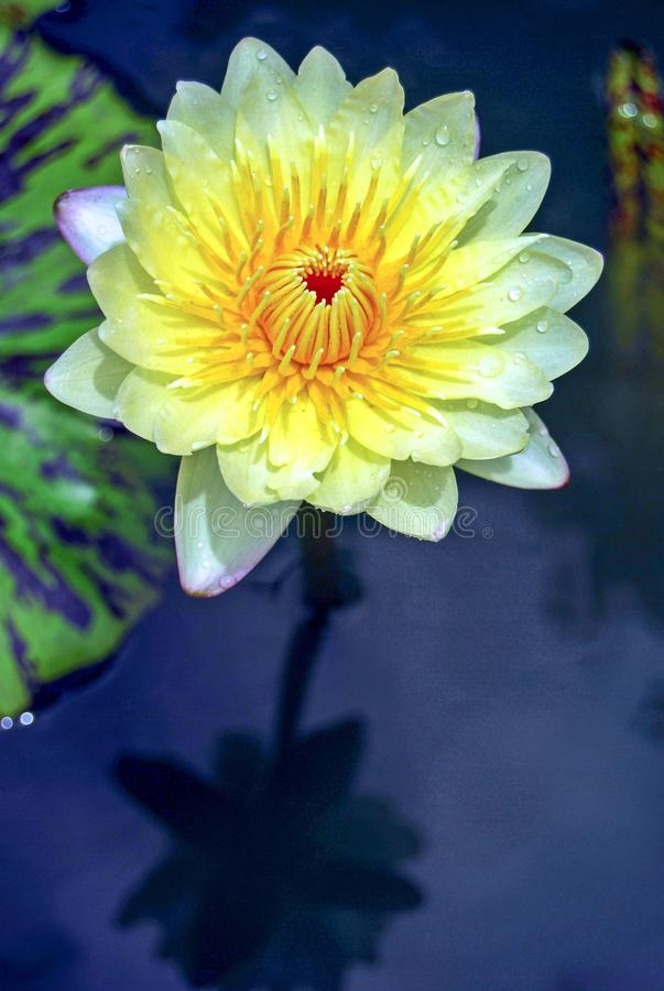 Yellow Lotus Flower is used as a symbol of creativity, knowledge, and confidence. stock photography