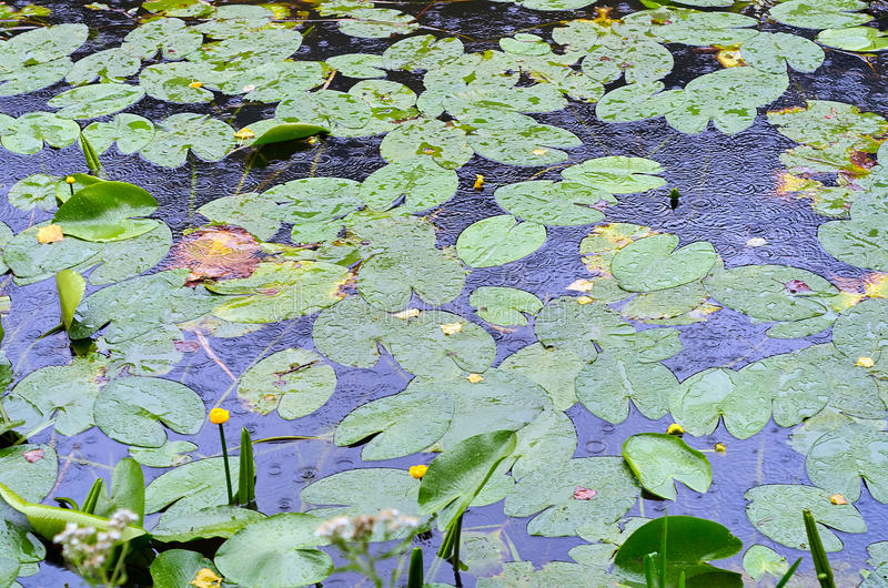 Yellow lotus and leaf on water in rainy summer day royalty free stock photos