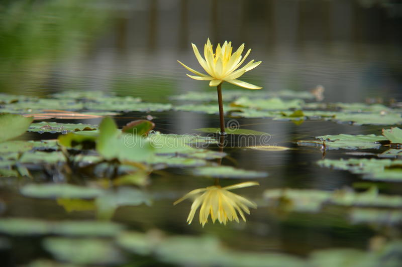 Yellow Lotus. A yellow lotus looks perfect along with it's inverted reflection in water stock photography
