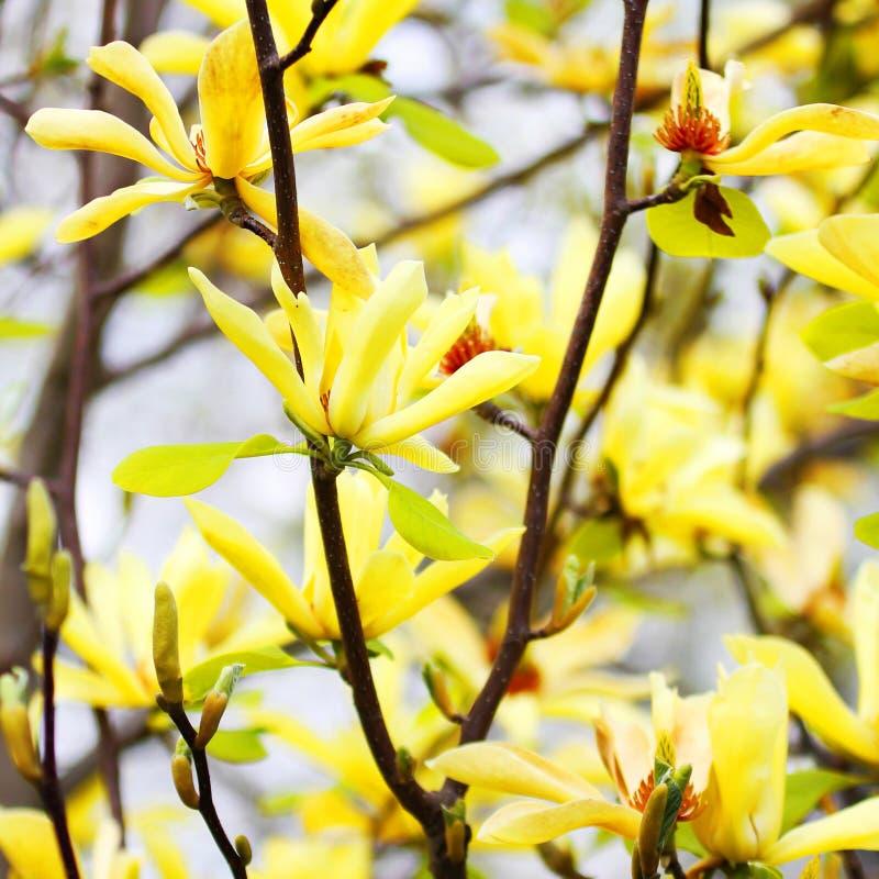 Yellow Magnolia Tree Blossoms. In Springtime royalty free stock photos