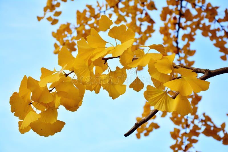 Yellow, Maidenhair Tree, Flora, Tree royalty free stock photo
