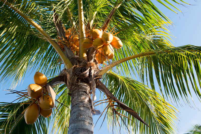 Yellow Malaysian Coconut Tree. Detail of a yellow Malaysian coconut tree with fruit and blue sky stock photography