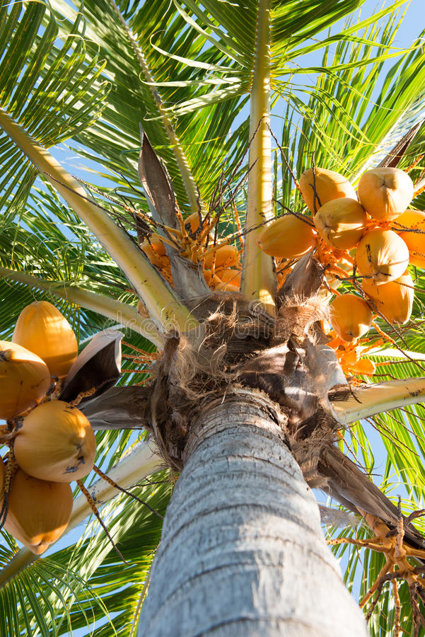 Yellow Malaysian Coconut Tree. Detail of a yellow Malaysian coconut tree with fruit and blue sky stock image