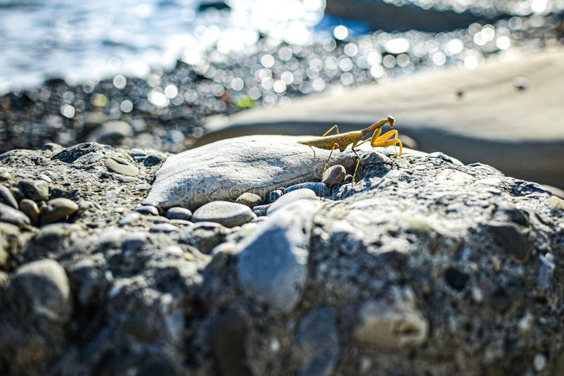 yellow mantis posing on a rock against the sea. blurred background royalty free stock image