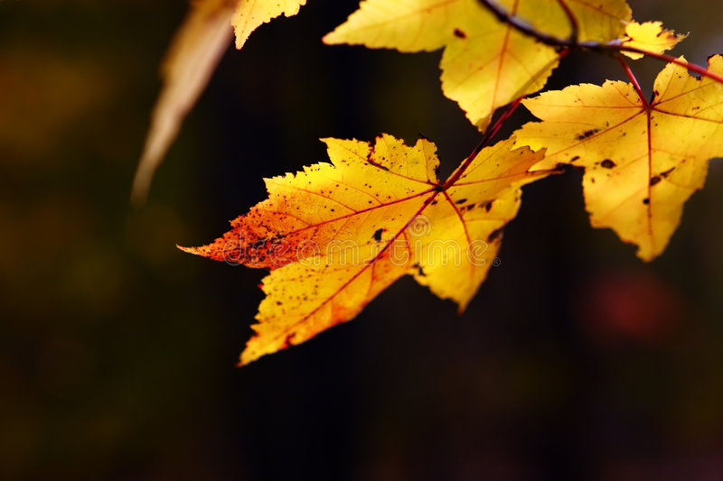 Yellow Maple. Close-up of a maple tree branch in autumn royalty free stock images