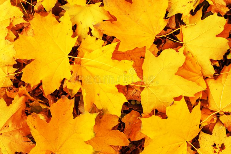 Yellow maple Autumn Leaves Background. Colorful autumn fallen le. Aves texture. Outdoor royalty free stock photo