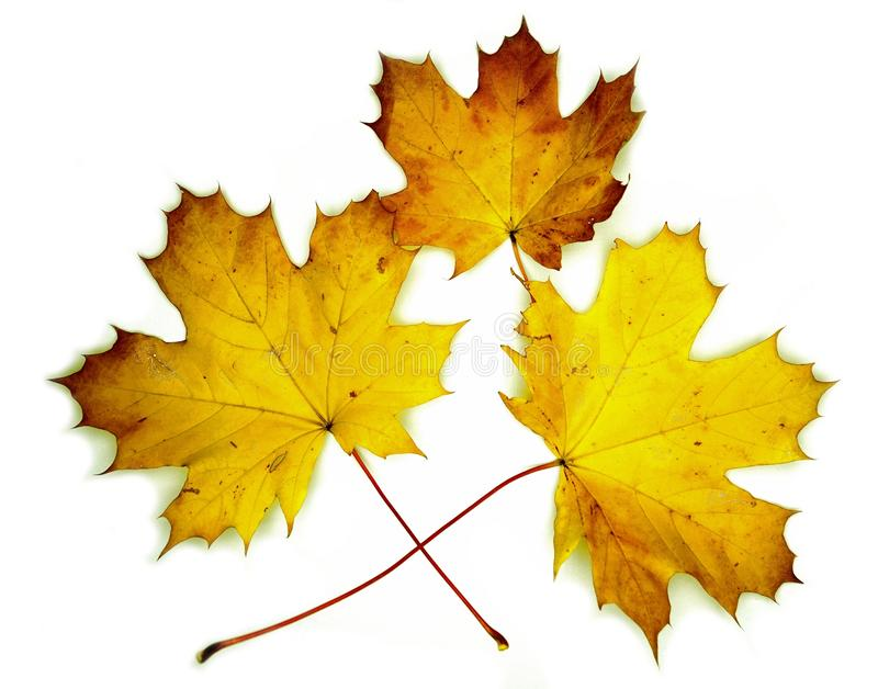 Yellow maple autumn leaves on white background royalty free stock photo