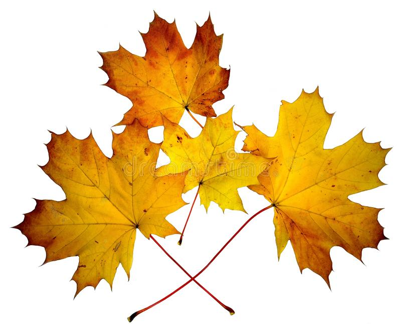 Yellow maple autumn leaves on white background stock photography