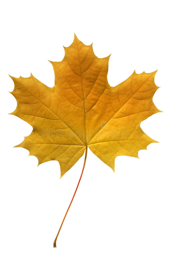 Free Yellow Maple Leaf. Stock Images - 1314394