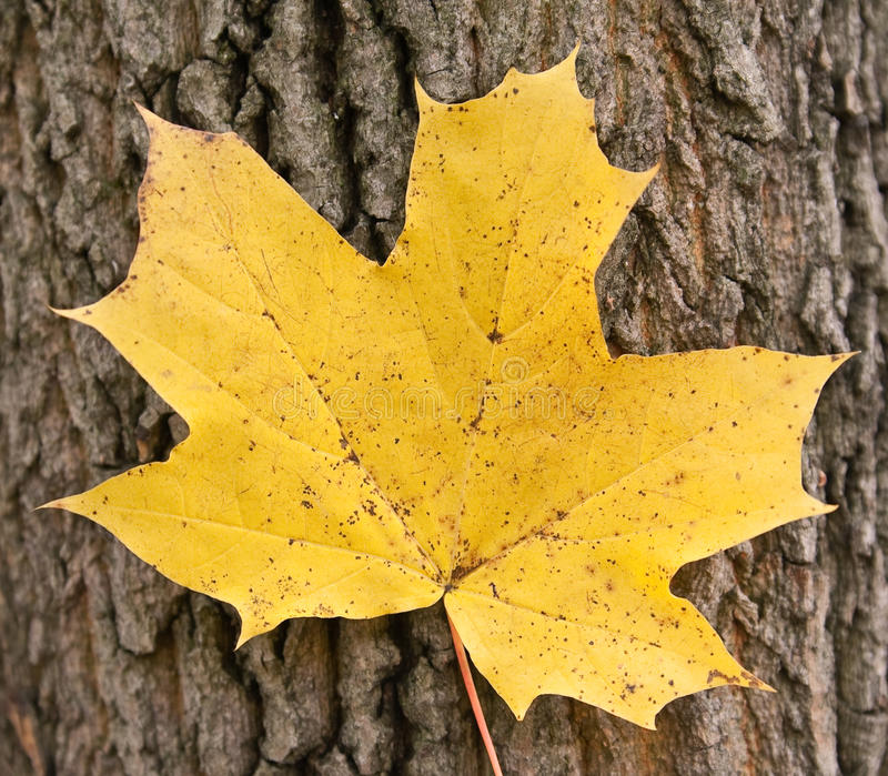 Download Yellow maple leaf stock photo. Image of trunk, season - 15977444