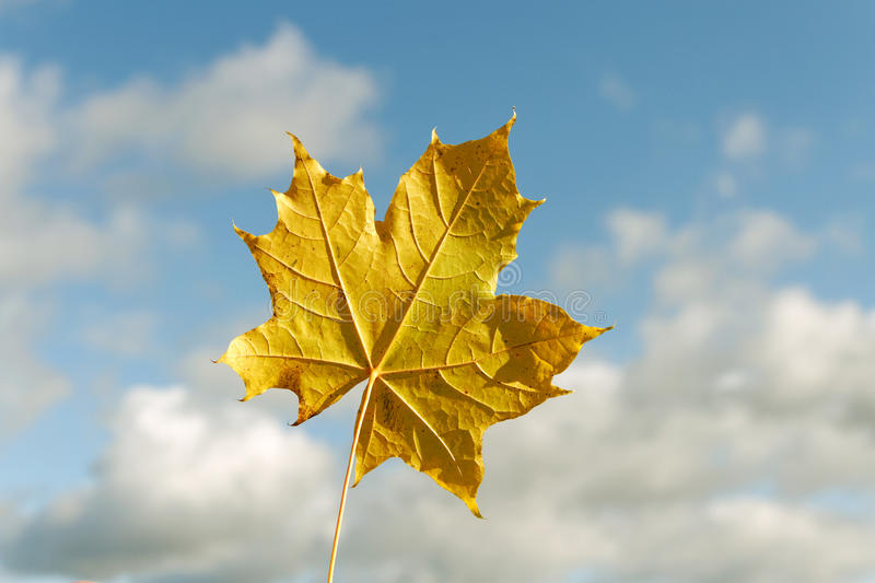 Yellow maple leaf. stock photos
