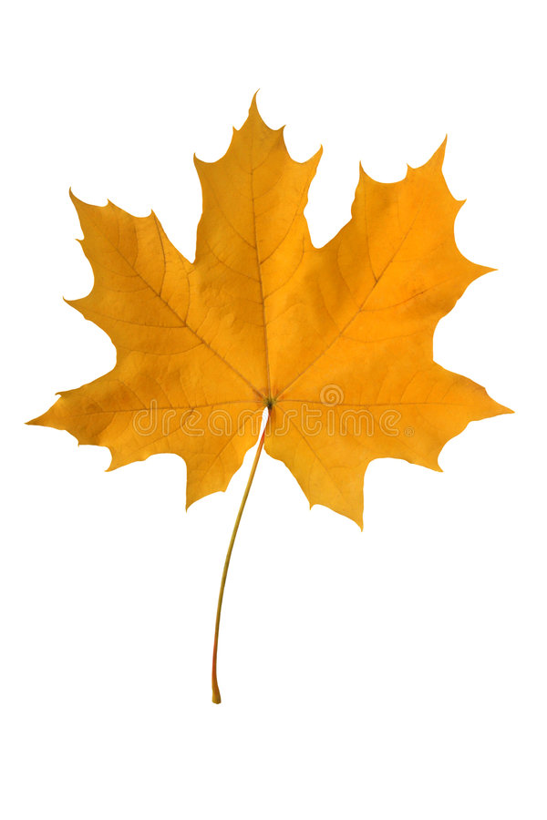 Free Yellow Maple Leaf. Royalty Free Stock Images - 3208229
