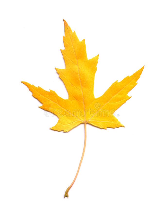 Download Yellow maple leaf stock photo. Image of autumn, close - 7072898