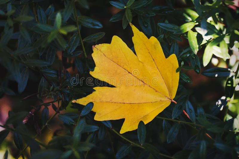 Yellow maple leaf on autumn blurred background. royalty free stock photography