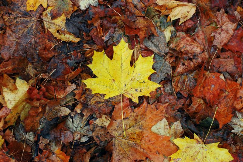 Yellow maple leaf on dry old leaves. Autumn concept, wallpaper background royalty free stock images