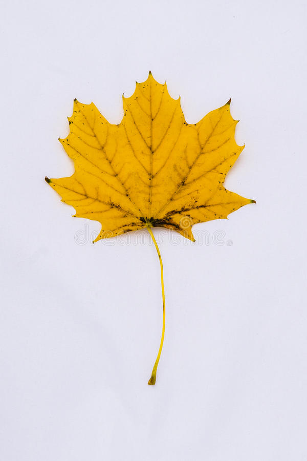 Yellow Maple Leaf stock photography